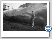 95 ft blue whale with the Chief Mate of the C.A. Larsen (1929)